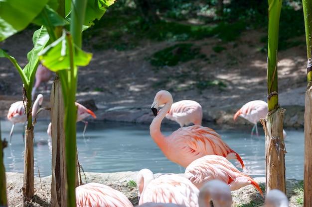 池のピンクのフラミンゴ。