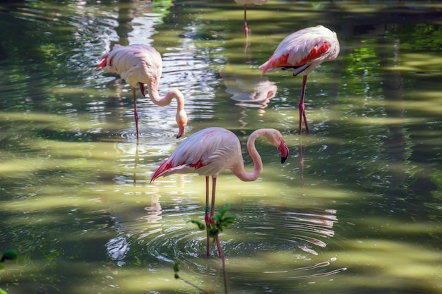 Pink flamingos are looking for their food in the pond.
