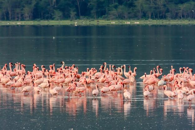 ピンクのフラミンゴの群れ。ナクル湖、ケニア