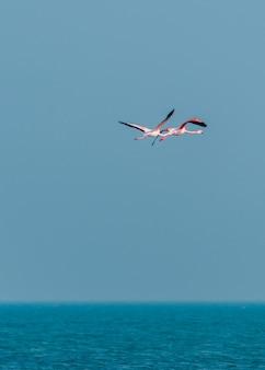 바다 위를 날고 있는 핑크 플라밍고