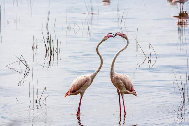 ケニアのナクルのピンクのフラミンゴ