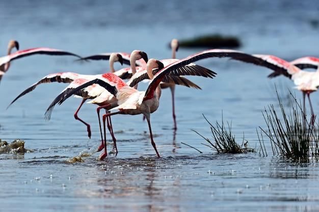 湖のアフリカの生息地のピンクのフラミンゴ
