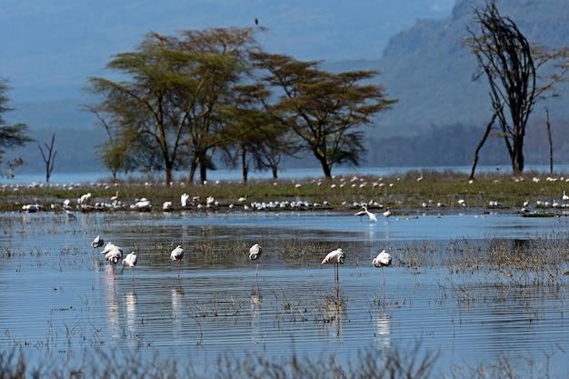 自然の生息地のピンクのフラミンゴ。ケニア。ナクル湖。