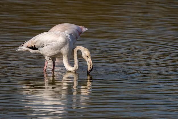沼地の自然公園のピンクのフラミンゴ