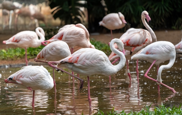 Pink flamingos in the national birds aves park, brazil.