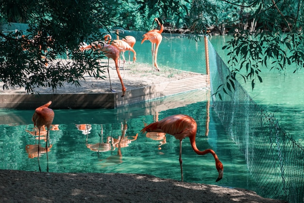 Pink flamingos walking in the water with reflections phoenicopterus roseus
