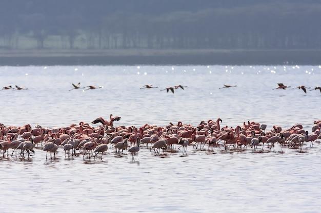 ナクル湖のピンクの群れ。ケニア、アフリカ