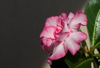 Pink flower adenium obesum blooms.