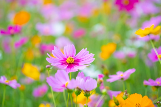 Розовый цветок и свежий в саду. розовые цветы с копией пространства.