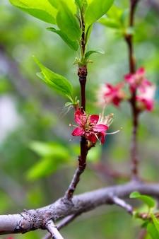 Pink flower apricot spring garden