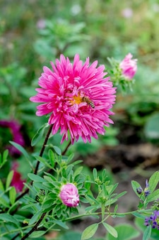 A pink flower of aster and bee in the garden among the green leaves