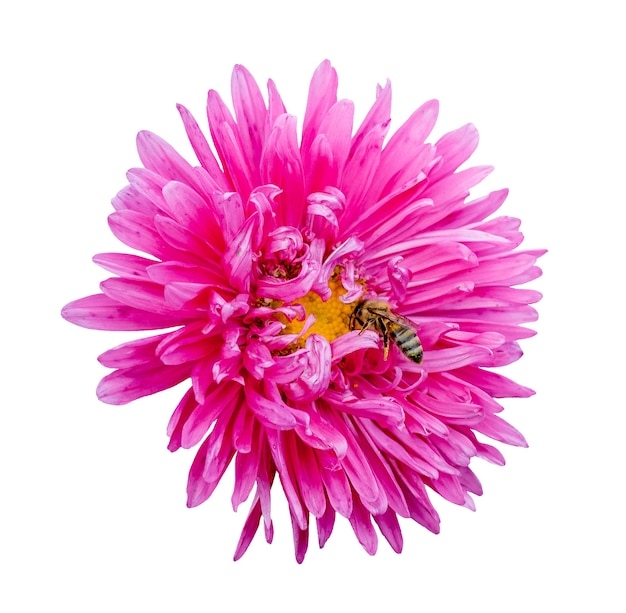 Pink flower of aster and a bee on a white isolated background