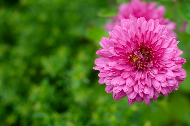 Pink flower of autumn chrysanthemum on a yak green blurred background. copy space.