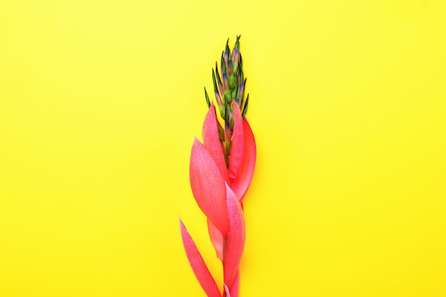 Pink flower of billbergia on a yellow background