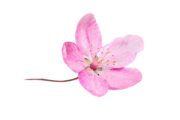 Розовый цветок из дерева сакуры, изолированные на белом фоне. макро крупным планом студийный снимок