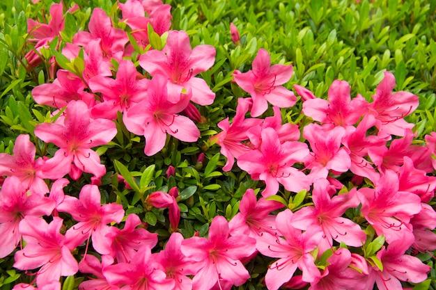Pink flower in graden.