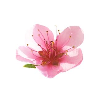 ピンクの花は白い背景で隔離。マクロ撮影