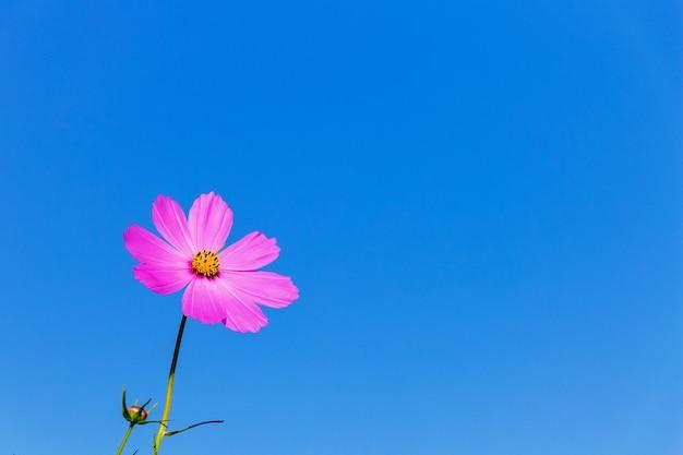 푸른 하늘 배경에 핑크 꽃 kosmeya입니다. 공간 복사 _