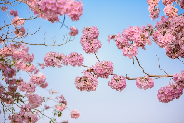 Pink flower neotropical tree and blue sky
