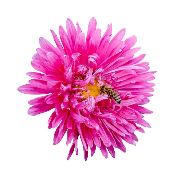 アスターと孤立した白地に蜂のピンクの花