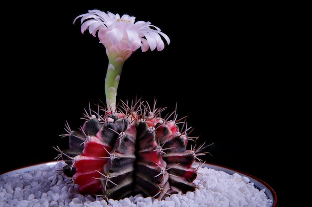 黒い背景に咲くギムノカリキウムサボテンのピンクの花