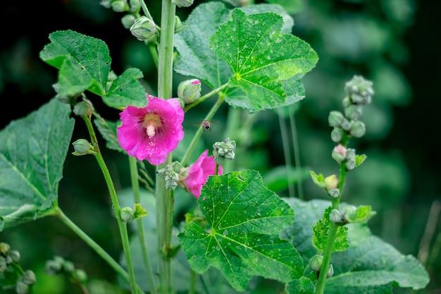 В светлый летний день распустился розовый цветок мальвы. пчела летит на мальву, чтобы собрать мед и пыльцу. цветы украины, мальва.