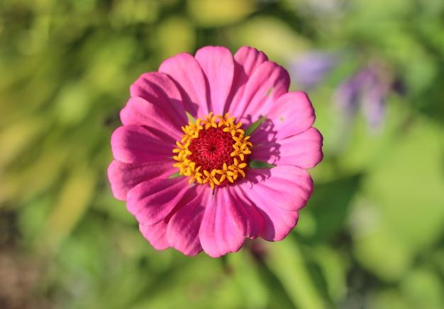 Розовый цветок в саду