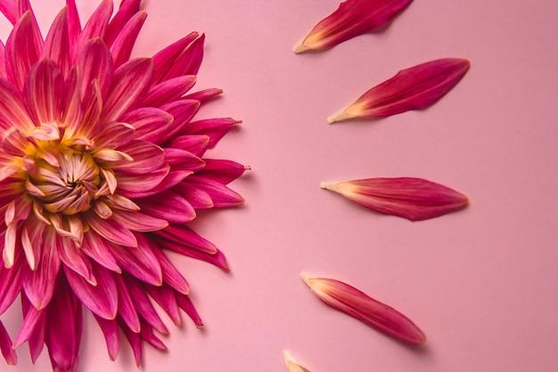 분홍색 배경에 핑크 꽃입니다. 여성 건강 개념입니다. 부드러움, 배려 및 친절에 대한 언급.