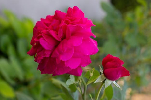 Розовые цветочные пионы, цветущие на поверхности розовых цветов