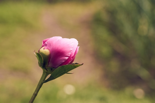Pink flower peony against the background of green grass.