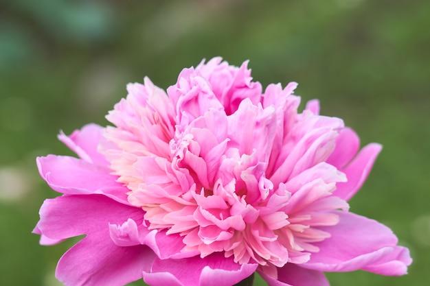 緑の草を背景にピンクの花牡丹。