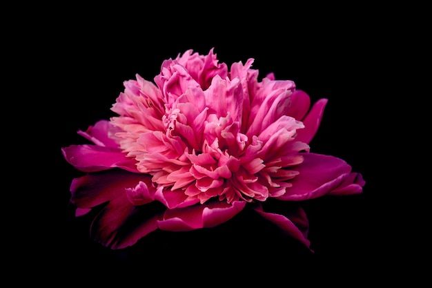 Розовый пион цветка на темном фоне.