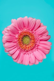 Pink flower on turquoise background