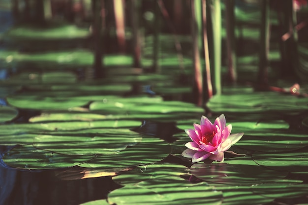 日本の池の葉の間のピンクの花スイレン