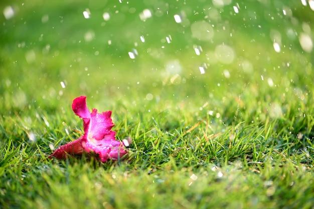 Розовый цветок с сильным дождем на поле зеленой травы, одинокая концепция.