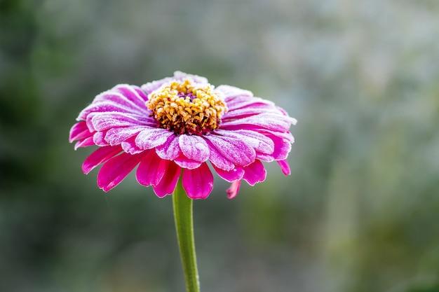 ピンクの花の百日草、霜で覆われています