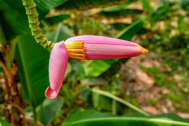 Pink flowering banana