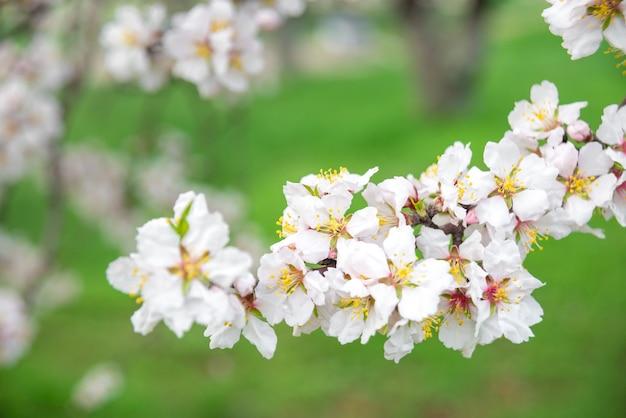 ピンクの花、春に開花するアーモンドの木の枝、緑の草の背景