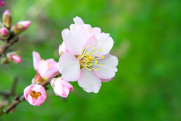 Розовые цветы, ветка миндального дерева, цветущая весной