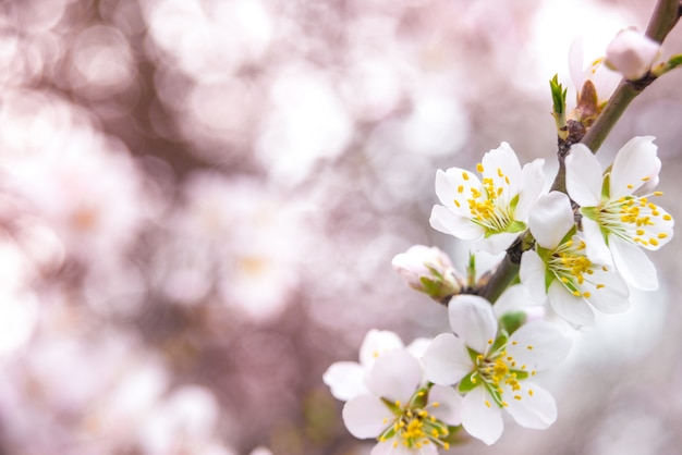 Pink flowers, almond tree branch blossoming in spring