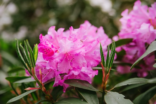 晴れた天気のクローズアップの公園で屋外のシャクナゲのピンクの花とつぼみ