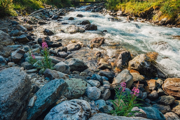 맑은 날에는 맑은 청록색 물로 빠른 산 개울에 분홍색 꽃이 피어납니다.
