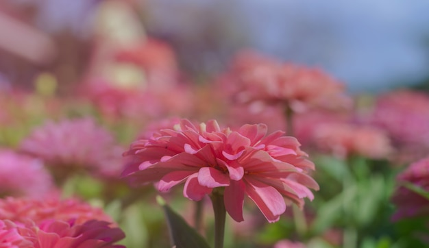 Pink flowers bloom beautifully for background