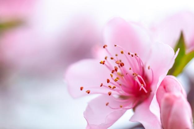 핑크 꽃 피는 복숭아 나무 봄, 자연.