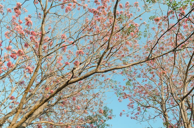 Pink flowers blossom trees in the park with blue sky, thailand