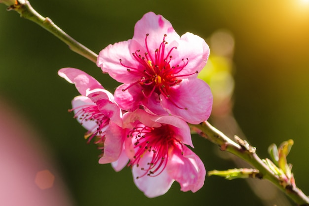 Pink flowers on branches on a sunny day, beautiful postcard.