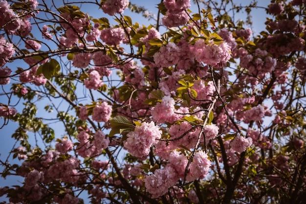 Pink flowers called sakura, thailand in chiang mai.
