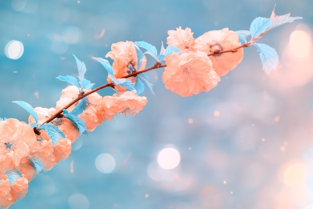 Pink flowers on cherry tree branch on light blue background, soft focus macro. beautiful soft spring background.