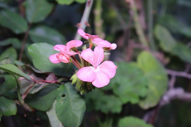 ピンクの花は葉の背景にクローズアップ
