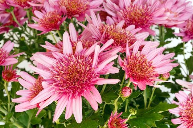 植木鉢の菊植物のピンクの花(クローズアップ)。自然の背景。